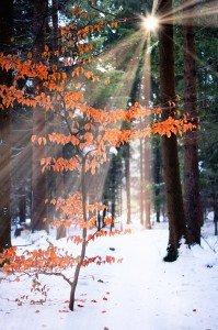 Beech Tree in Winter Forest